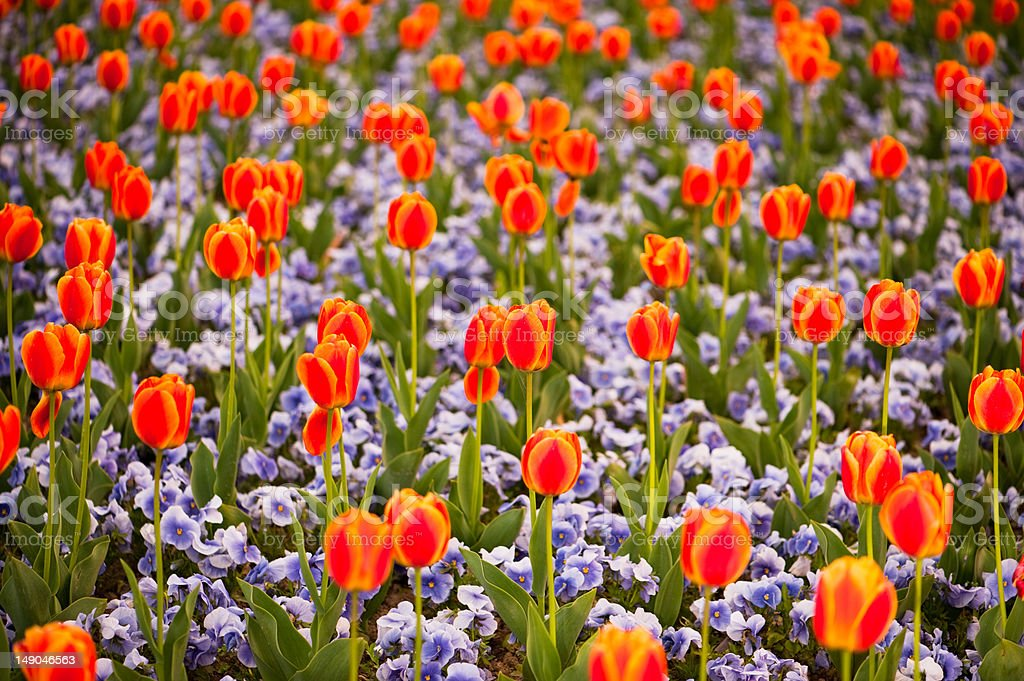 Multicolored tulips and pansy flowers on flowerbed royalty-free stock photo