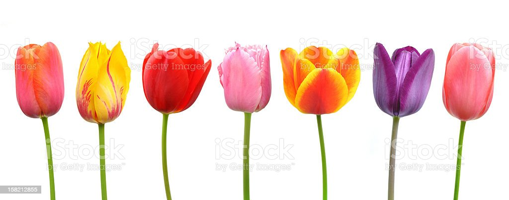 Multi-colored tulips in a row stock photo
