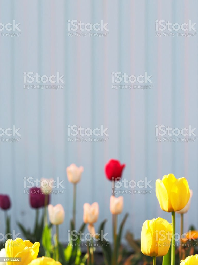 Multi-colored tulips on a background of blue and lilac wall. Yellow, red, white and purple tulips. Place for text. Selective focus stock photo