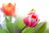 Close up with shallow detpth of filed from any tulips. soft focus.