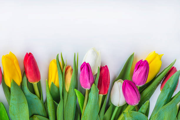 multicolored tulips - spring stock pictures, royalty-free photos & images