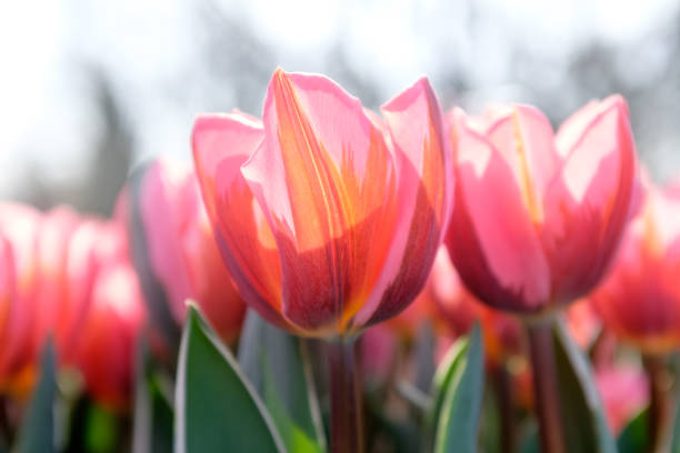 Multicolored tulips. Pink tulips Fresh spring flowers.Colorful. Selective focus used  In garden Keukenhof stock photo