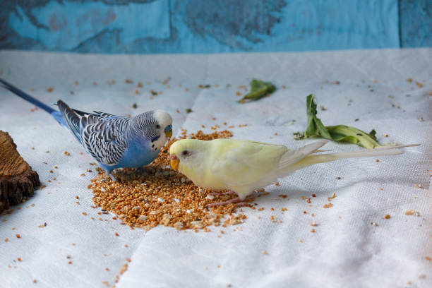 Multicolored wavy parrot pecks grain. Birds stock photo