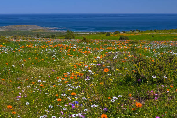 Multicolored wildflowers in West Coast National Park stock photo