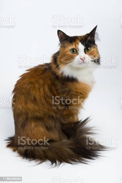 Multicolored young cat on a white background studio lighting picture id1136538335?b=1&k=6&m=1136538335&s=612x612&h=jb75k3s19caibkilbxwakfqqwe9fk64 lfzspqgklxa=