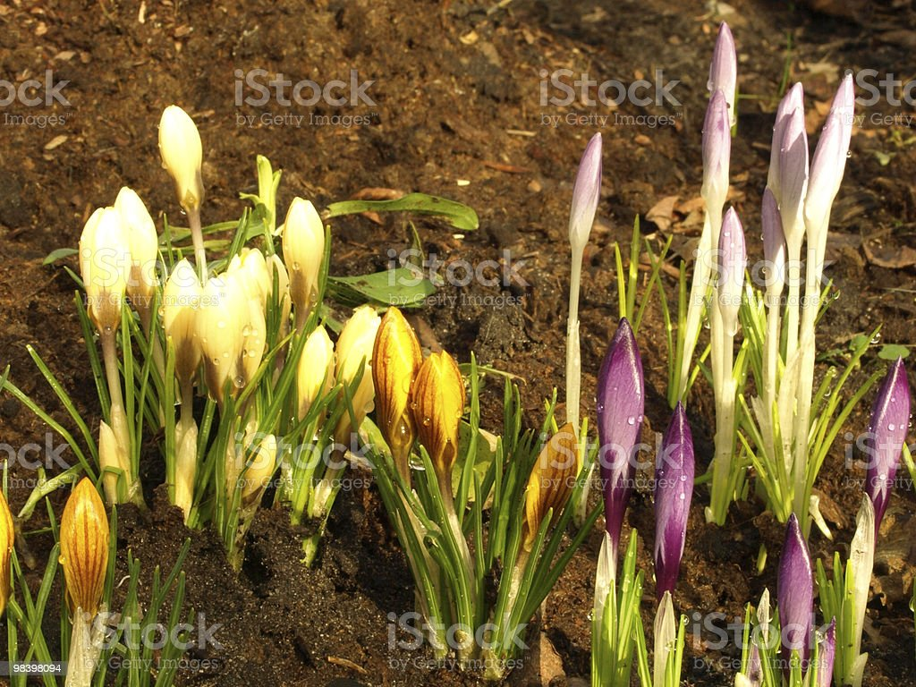 multicoloured crocuses royalty-free stock photo