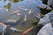 Koi fish in a garden pond