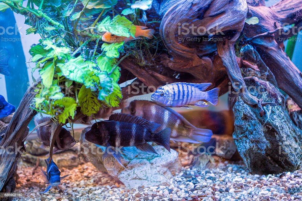 Multicoloured Malawi cichlids. Fish of the genus Cynotilapia stock photo