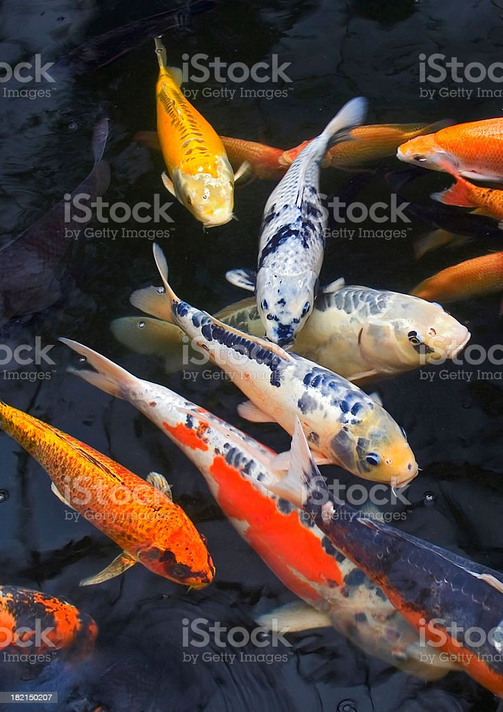 Multicoloured Pond Fish stock photo