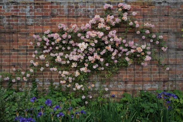 Multicoloured rambling rose in bloom picture id1162837336?b=1&k=6&m=1162837336&s=612x612&w=0&h=8npoebub5o6cvpaxw nsipdjjajbkgsblxw1r8l5n58=