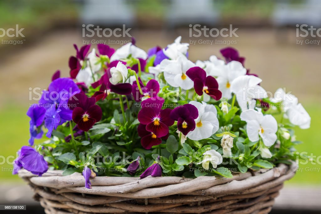 Multii Colored Viola In A Basket Stock Photo Download Image Now