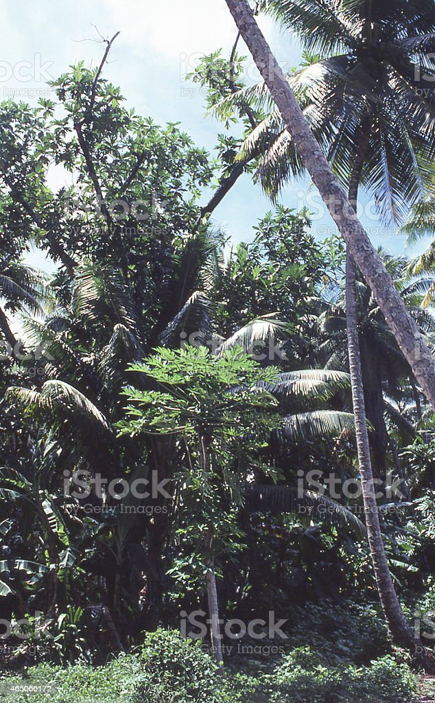Multi-layered Tropical Farming Fields Marshall Islands Micronesia stock photo