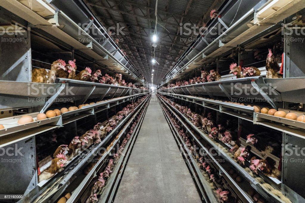 Multilevel production line conveyor production line of chicken eggs of a poultry farm. Agriculture technological equipment. Limited depth of field. stock photo