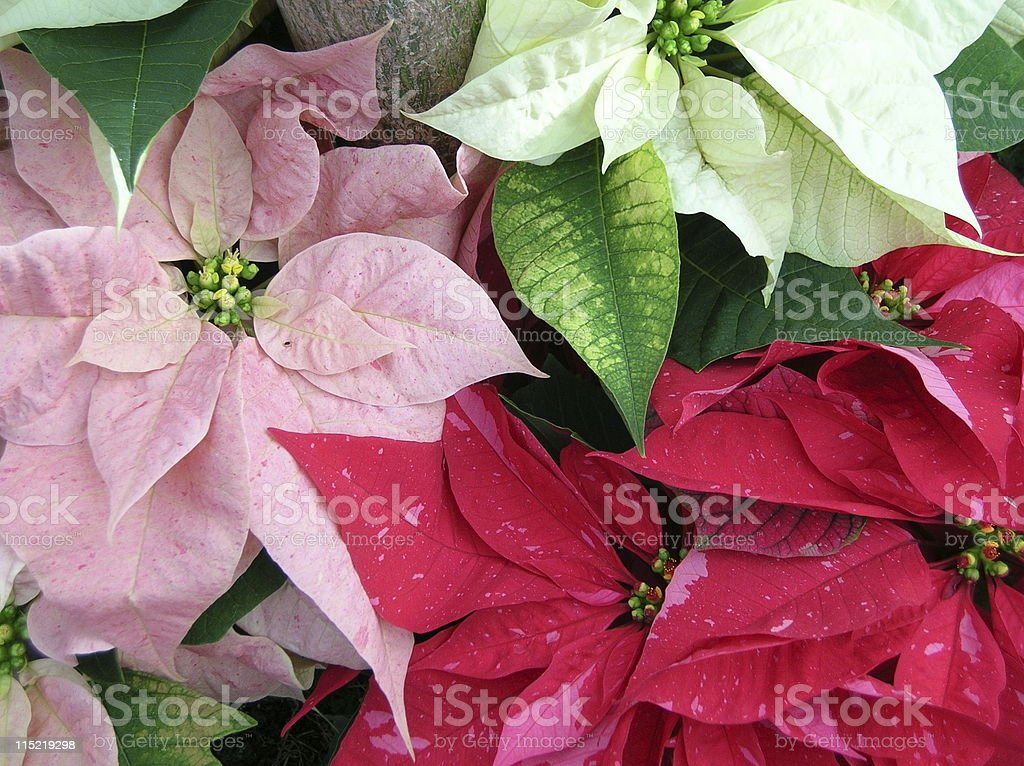 Multiple array of poinsettia colors stock photo