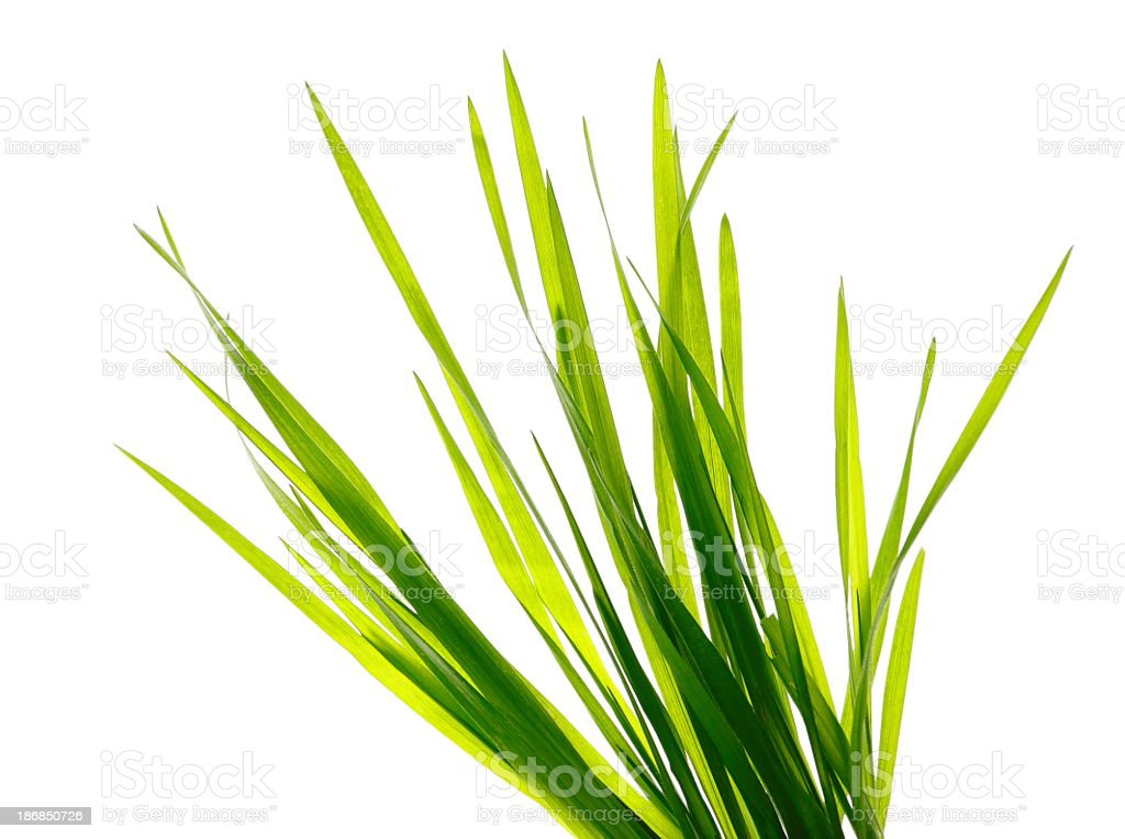 Multiple blades of green grass on a white background stock photo