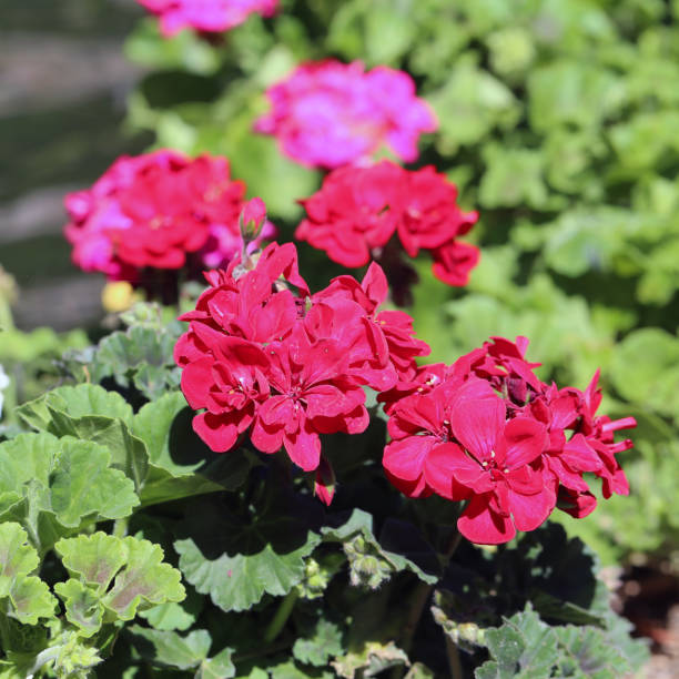 Multiple Blooming Pink Flowers in a Closeup with Their Green Leaves stock photo