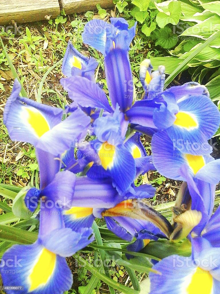 Multiple blue and yellow flowers in the iris family stock photo multiple blue and yellow flowers in the iris family royalty free stock photo izmirmasajfo
