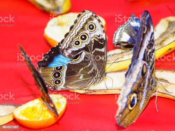 Multiple butterflies feeding on sliced fruit in a feeder picture id884931062?b=1&k=6&m=884931062&s=612x612&h=ce0hscvs0ctmmfgdqhnkfkoddrein1yponaagvooznu=