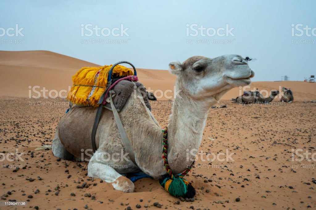 Multiple camels are waiting in the morning to walk further into the Sahara desert, Morocco stock photo