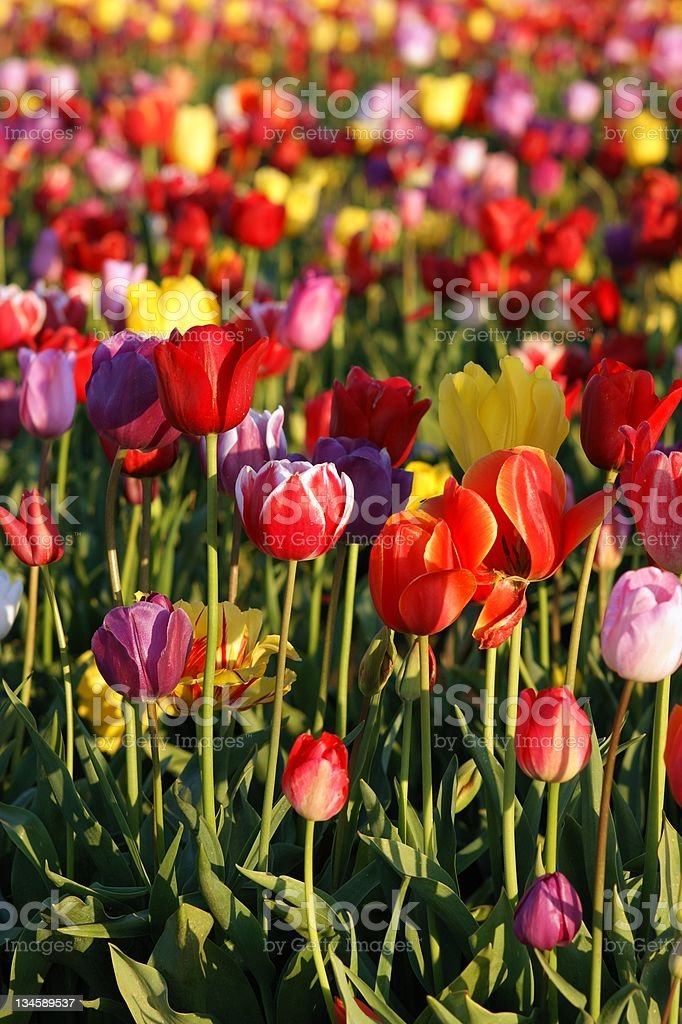 Multiple Colors in Tulips Reach Towards Sun Vertical Composition royalty-free stock photo