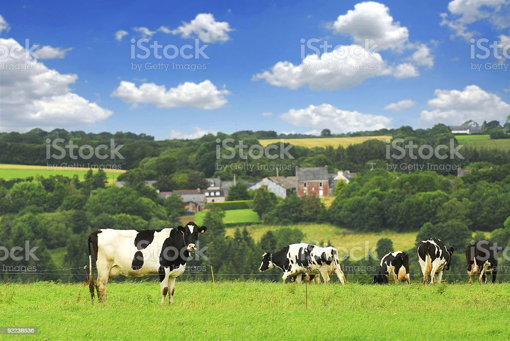 Multiple cows in a pasture on a beautiful day stock photo