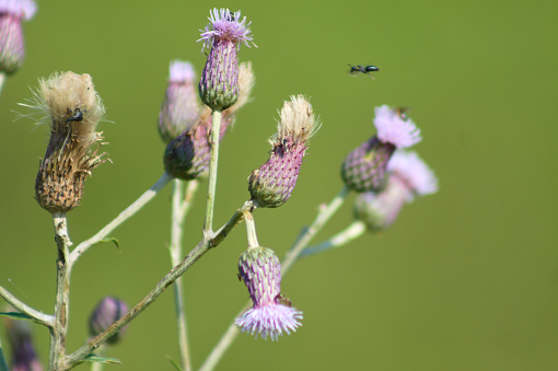 Multiple creeping thistle in bloom with insects flying close-up view