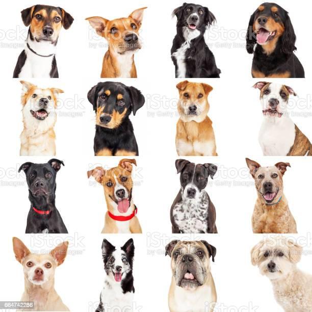 Multiple crossbreed dog closeups picture id664742286?b=1&k=6&m=664742286&s=612x612&h=wzarksvg3tjm afjksoglkazavqoldsjpnidxhwi4qs=