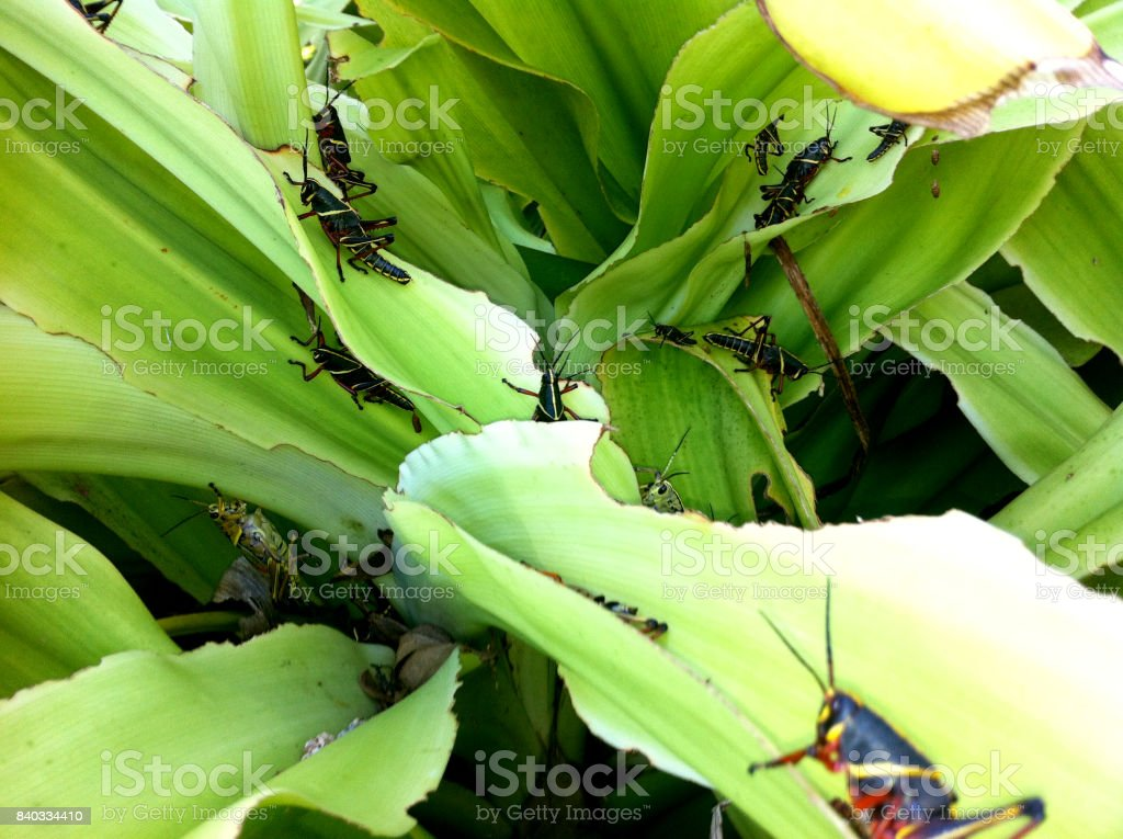 Multiple Different Types Of Grasshoppers Hanging Out In A Bush stock photo