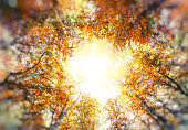 Golden autumn trees from below. Multiple exposure.