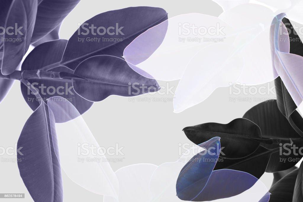 multiple exposure of ficus stock photo