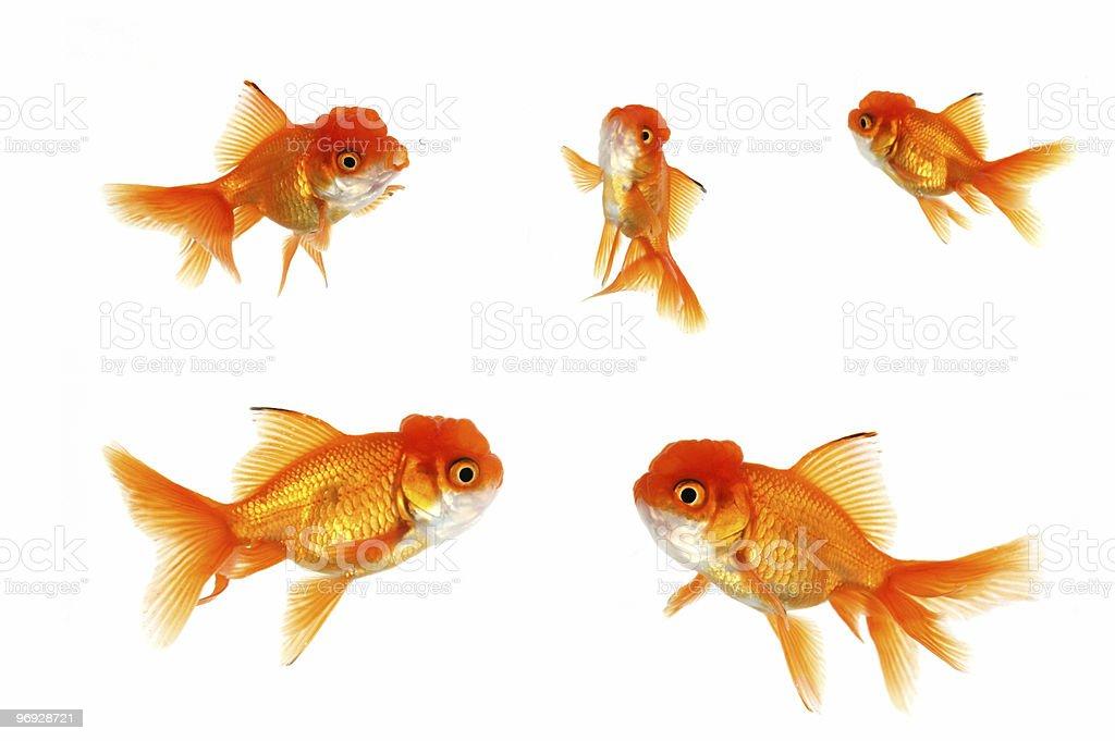 Multiple Goldfish royalty-free stock photo