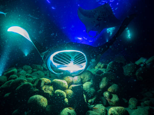 Multiple manta rays lit by rays of light underwater stock photo