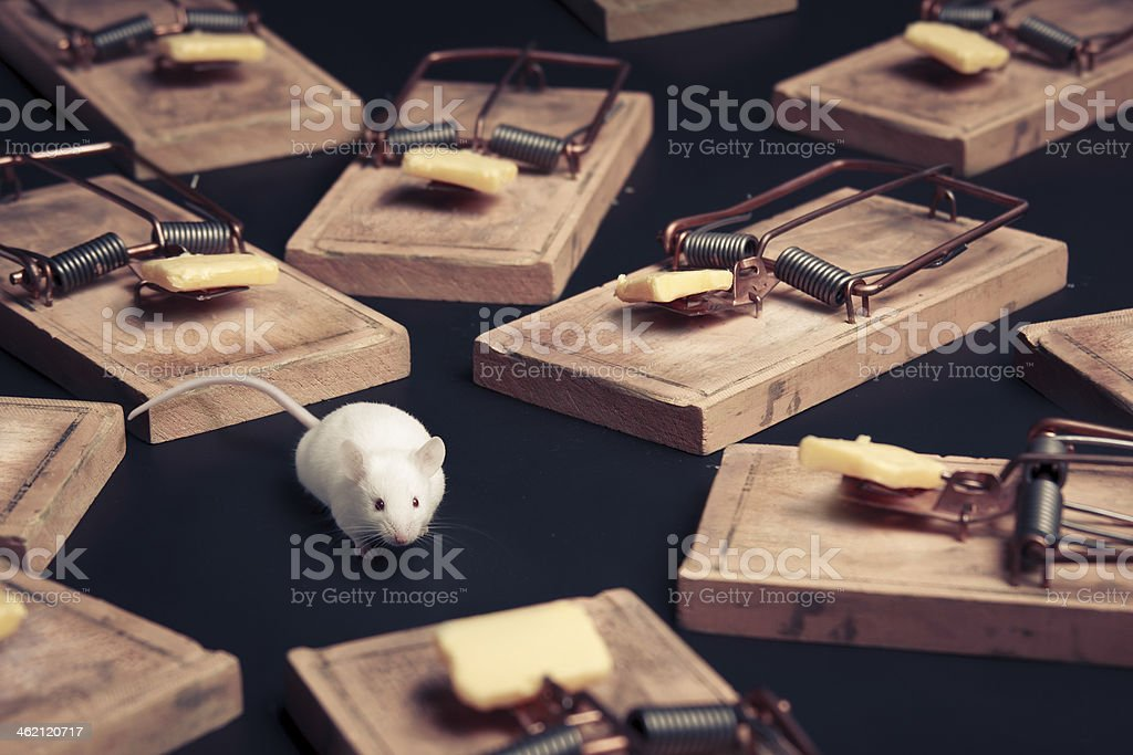 multiple mouse traps with cheese on a dark background stock photo