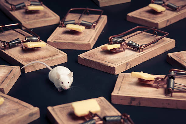 multiple mouse traps with cheese on a dark background mouse in danger surrounded by mouse traps trap stock pictures, royalty-free photos & images