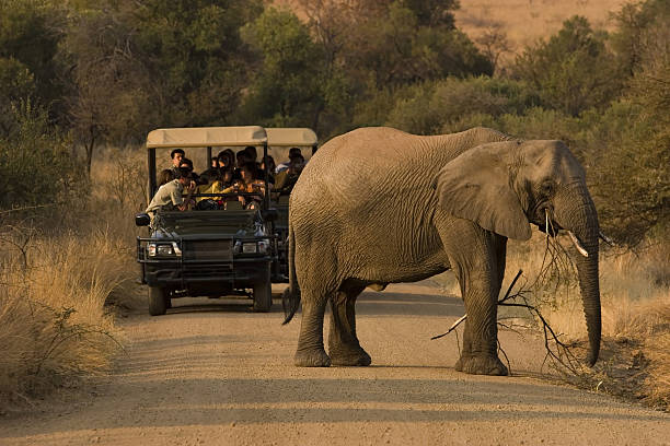 multiple people on a safari viewing an elephant - safari stock photos and pictures