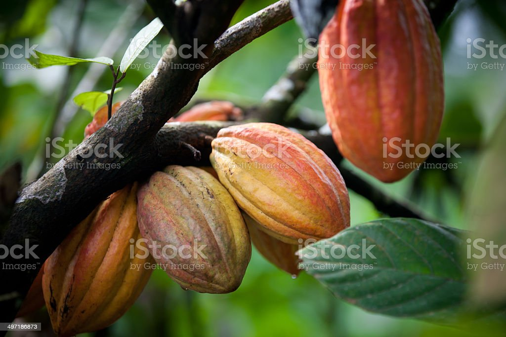 Multiple pods on cacao tree stock photo