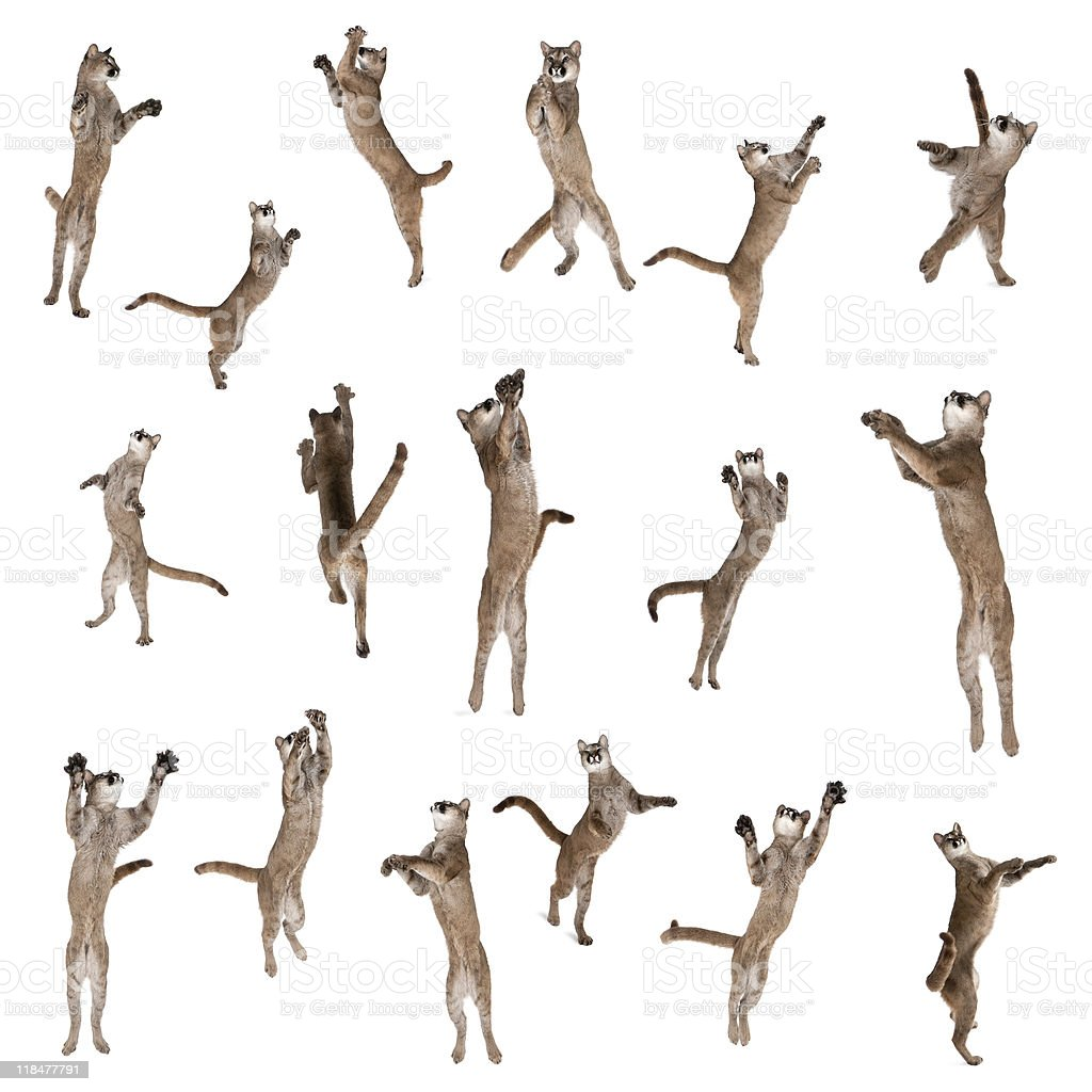 Multiple Pumas jumping in air against white background stock photo