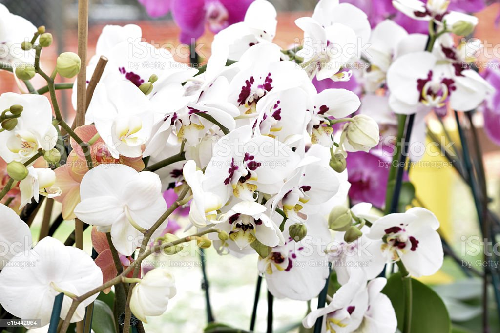 Multiple White Orchids or 'Moth Orchids' stock photo