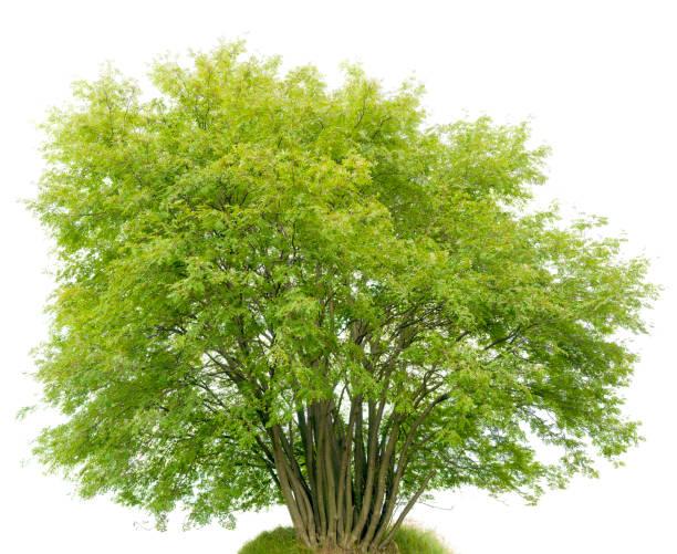 Multi-trunk Shrub (Rowan Tree, Sorbus aucuparia) isolated on white. stock photo