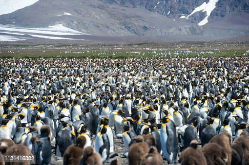 A multitude of King penguin stands in a colony on South Georgia Island