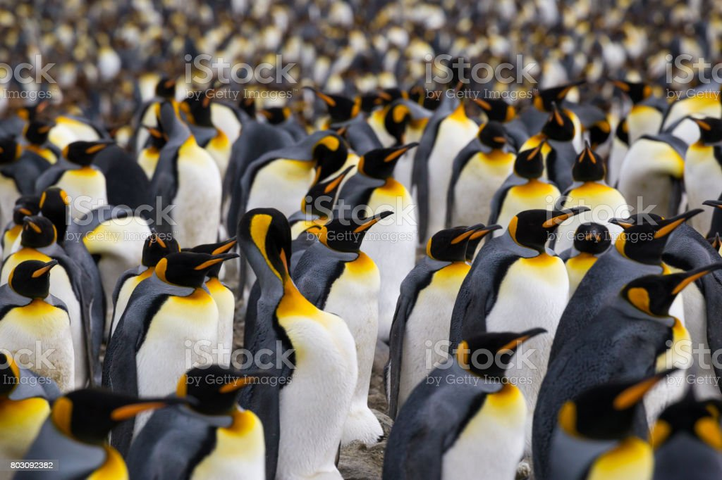 A multitude of King penguin stands in a colony on South Georgia Island stock photo