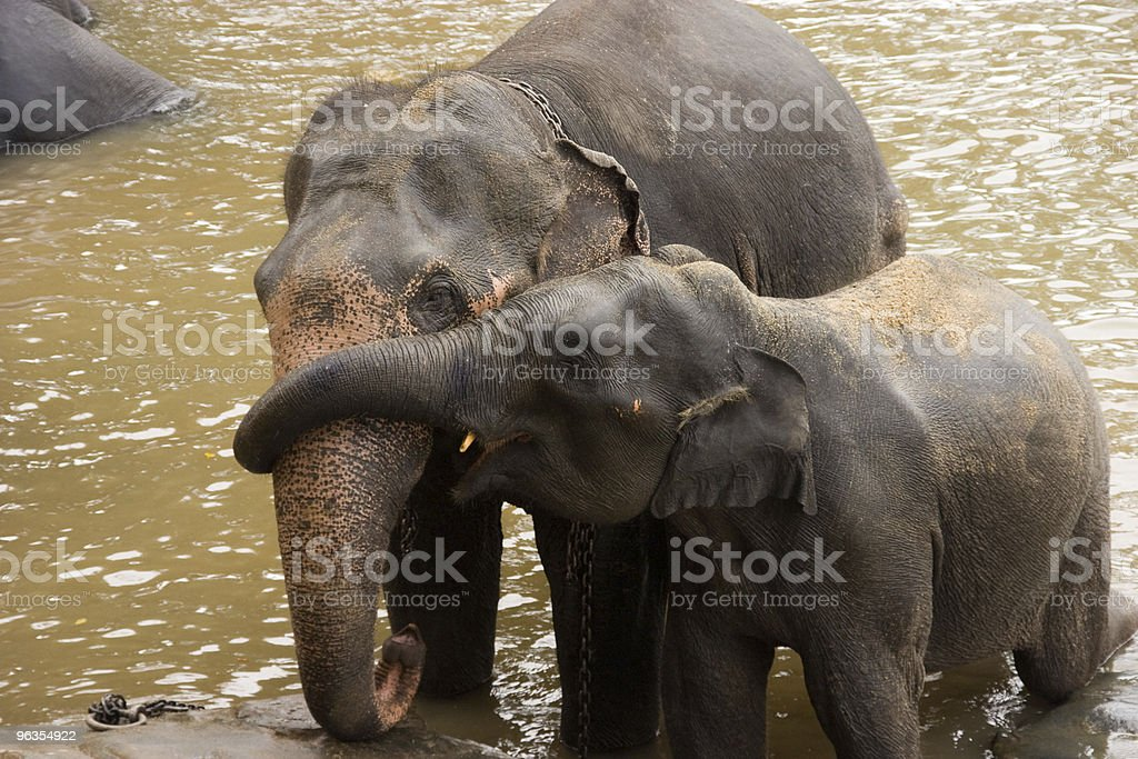 Mum and calf playing in the water royalty-free stock photo