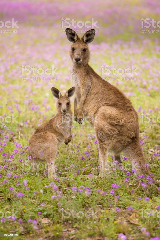 mum and joey stock photo