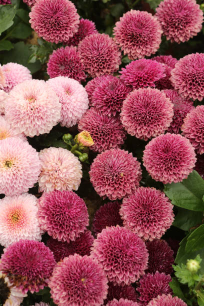 Mum Small Wonder - Bluestone Perennials stock photo