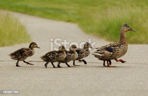 istock Mumma duck and kids 182667765