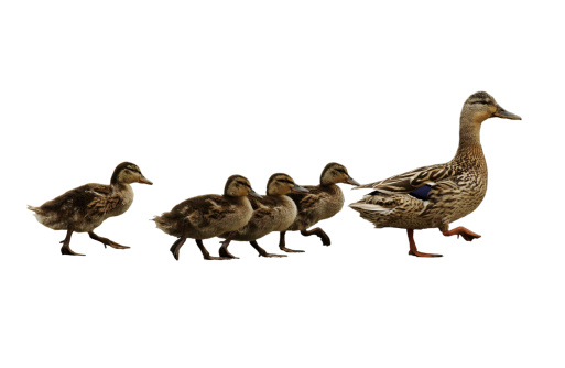 * Mumma duck leading the family. Isolated on white version of original file which is also available in my portfolio