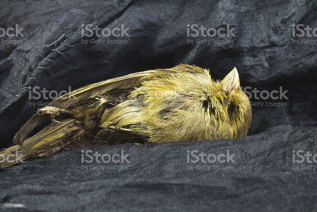 Mummified Bird. stock photo
