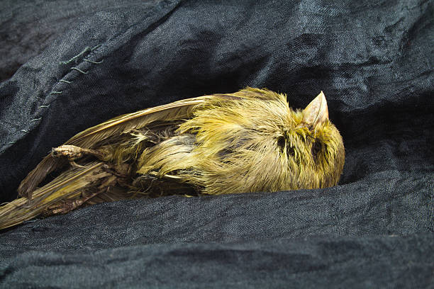 momie oiseaux. - canari photos et images de collection