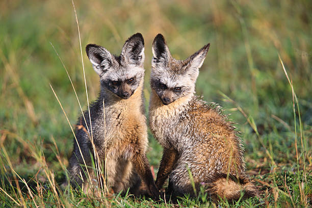 Mummy and Daddy Bat Ear Foxes stock photo
