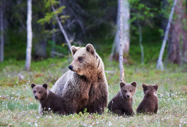 Mummy bear and her three little puppies Mother brown bear protecting her three little cubs wildlife reserve stock pictures, royalty-free photos & images